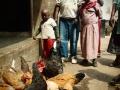 Hühnerzucht und Lernprojekt
